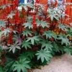 Технологія вирощування рицини з насіння