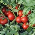 Томат Катя: Фото, відгуки, врожайність