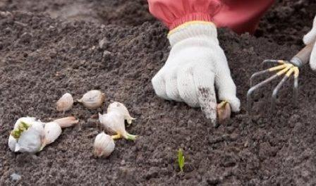 Посадка часнику (озимого) на зиму. Як садити часник восени