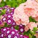 Флокси — багаторічні квіти в саду, посадка та догляд