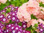 Флокси - багаторічні квіти в саду, посадка та догляд