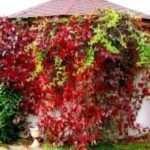 Морозостійкий сорт винограду Амурський