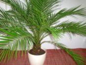 Як доглядати за кімнатною пальмою? Фото і назва