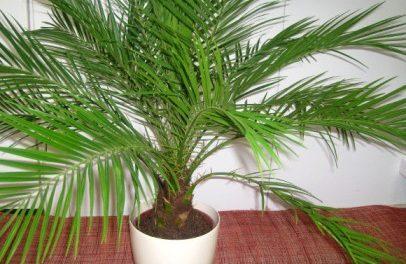 Як доглядати за кімнатною пальмою? Фото, назва і види