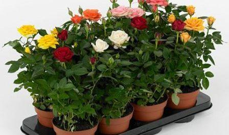 Як доглядати за кімнатними розами (трояндами) в домашніх умовах ... 2729454def746