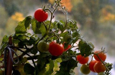 Як виростити помідори на вікні? Вирощування томатів на підвіконні