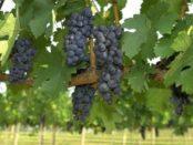 Пересадка винограду осінню: коли можна і які методи пересадки