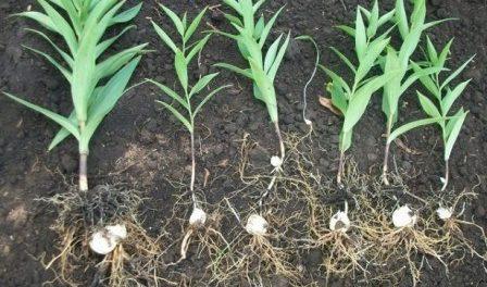 Посадка лілій восени: Куди та коли садити лілії на зиму
