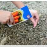 Правила посадки моркви восени під зиму