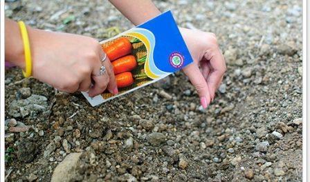 Посадка моркви восени під зиму. Коли садити моркву на зиму