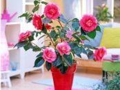 Квітка Камелія Японська - догляд та вирощування в домашніх умовах