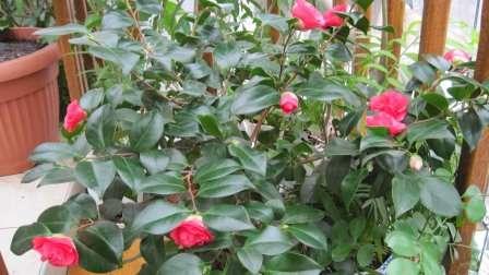 Вирощування Японської Камелії в домашніх умовах