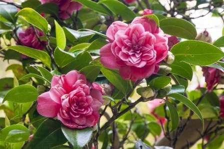 Квітка Камелія Японська - догляд та вирощування