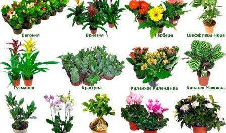 Каталог кімнатних рослин з фотографіями і назвами - особливості ... 723abbf24475b