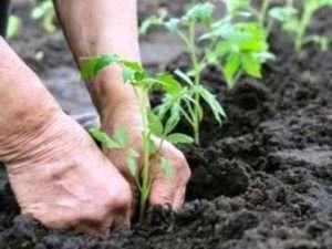 Добрива для розсади помідорів і перцю, коли і як їх використовувати