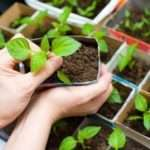 Добрива для розсади помідорів і перців