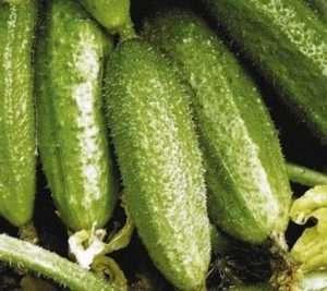 Популярні самозапильні сорти огірків для відкритого ґрунту в Україні