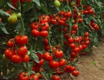 Індетермінантні сорти томатів для вирощування у відкритому грунті