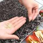 5 етапів підготовки насіння перцю до сівби на розсаду
