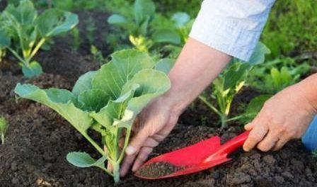 Вирощування та посадка капусти білокачанної на розсаду та у грунт