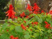 Сальвія: коли садити і як вирощувати насіння на розсаду
