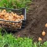 Як і коли вносити добрива для картоплі при посадці в лунку