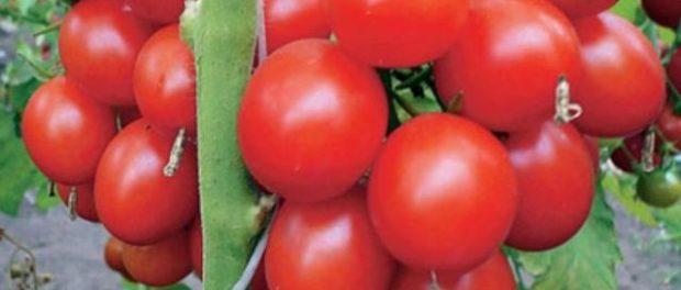 Дріжджове підживлення для томатів. Рецепт добрива з дріжджів для помідорів