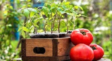 підживлення розсади помідорів