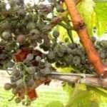 Весняна обробка винограду від хвороб і шкідників