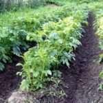 Якою має бути відстань між рядами картоплі?