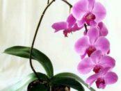 Як правильно доглядати за орхідеями в домашніх умовах