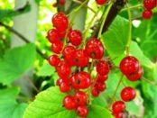 Червона смородина: опис сортів і їх вирощування в домашніх умовах