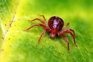 Павутинний кліщ - шеідник огірків