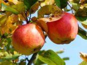 Відео: Чому жовтіє листя у яблунь