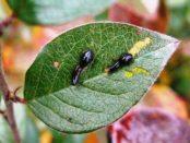 Чому з'являються чорні личинки на листках вишні? Лікування