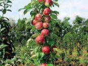 Колоновидна яблуня: посадка і догляд в домашніх умовах