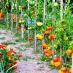 Як підв'язувати і пасинкувати помідори в теплиці і городі