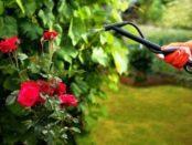 Відео: Позакореневе підживлення троянд