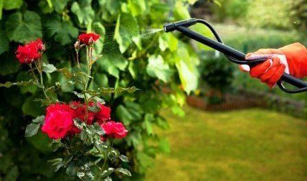 Позакореневе підживлення троянд
