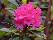 Все про Рододендрон садовий: посадка, догляд, застосування в дизайні саду