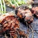 Які шкідники нападають на моркву? Фото