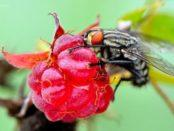Хвороби і шкідники малини: опис, захист і профілактика