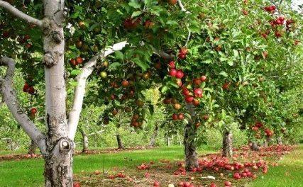 Відео: Як правильно обрізати старі яблуні, інструкції та схеми обрізки яблунь