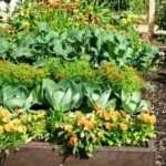 Змішані і ущільнені посадки овочів на городі
