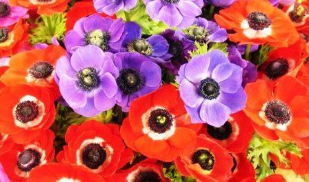 Квітка Анемона