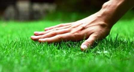 Газонна трава, засіяна на ділянці