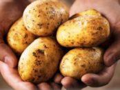 Коли починати збирати урожай картоплі
