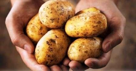 Коли копати картоплю для зберігання в домашніх умовах