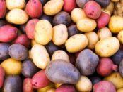 Вирощування та сорти кольорової картоплі