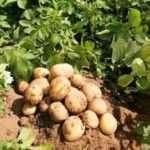 Як зберігати насіннєву картоплю в домашніх умовах